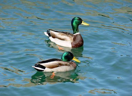 nice looking: Nice looking pair of ducks.