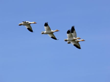 Some Snow Geese showing off their flying skills. Stock Photo
