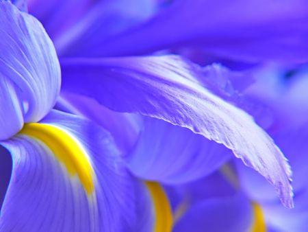 Een stelletje blauwe vlag irissen.