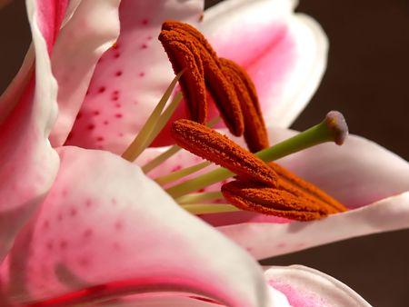 stargazer lily: Lovely stargazer lily. Stock Photo