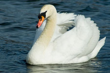 A regal swan, floating down the Serpentine - Hyde Park, London. Imagens