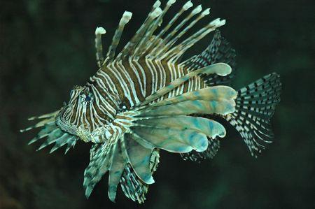 gills: Spectacular, exotic, tropical lion fish, swimming around an aquarium.