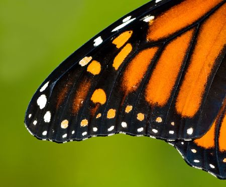 Wing of a monarch butterfly.