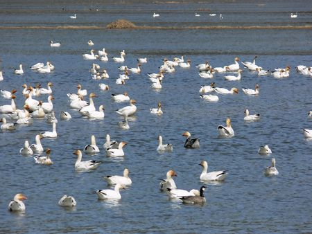 belong: Which goose doesnt belong in this picture? A flock of Snow Geese with one lone Canada Goose.