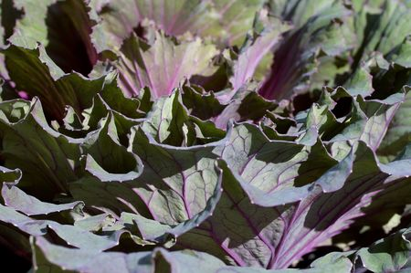 Closeup on the petals of an ornamental cabbage plant.