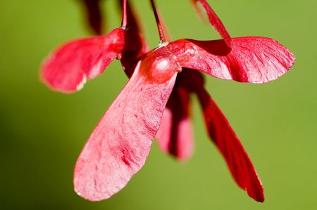 apparently: Apparently red Japanese maple trees have red keys as well.