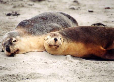 Sleeping on the beach - sea lions, Kangaroo Island, Australia.