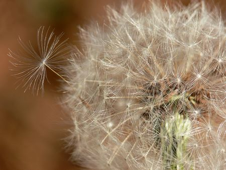 Closeup of a dandelion gone to seed. Stock Photo