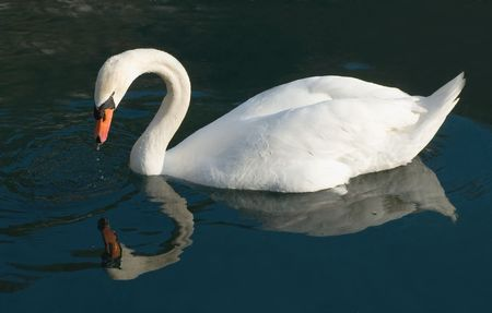 regensburg: Swan looking at his reflection in the Danube, near Regensburg, Germany. Stock Photo