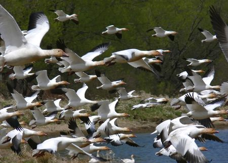 A flock of snow geese, taking off from a pond near Quebec City.