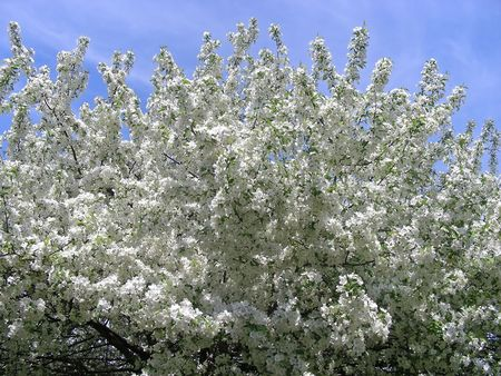 Wow, now thats a tree. Spring time in New England - a cherry tree full of white blossoms.