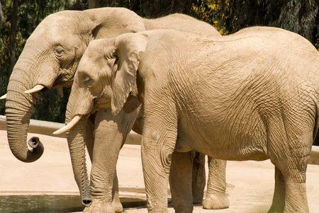 A pair of elephants, taking it easy in the desert heat - San Diego Wild Animal Park, San Diego, California.