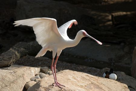 Spoonbill looking like he is about to take off. Stock fotó