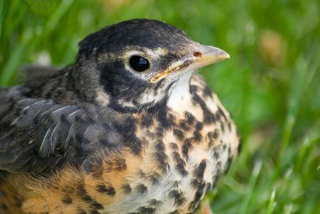 Niet helemaal klaar om te vliegen af - een jeugdige Robin, verstoppen in het gras.