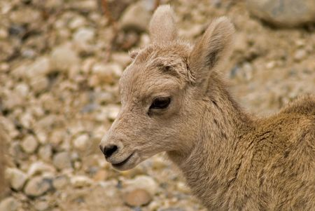 eventually: Hell be a Big Horned Sheep eventually, but now hes just plain adorable - baby mountain sheep - Banff National Park, Alberta, Canada. Stock Photo
