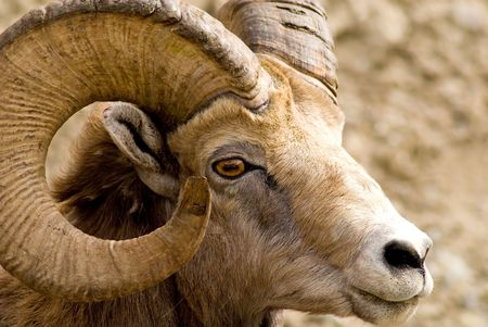 Hanging out by my car, a big horned mountain sheep - complete with horns - Banff National Park, Alberta, Canada.