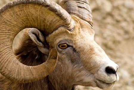 horned: Salir de mi coche, un gran cornudo ovejas de monta�a - con cuernos - Parque Nacional Banff, Alberta, Canad�.