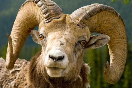 Those horns look like hes lost a few fights, but they are still impressive - Big Horned Mountain Sheep in Banff National Park, Banff, Alberta, Canada.