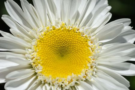 Closeup of a practically perfect and positively pretty daisy.
