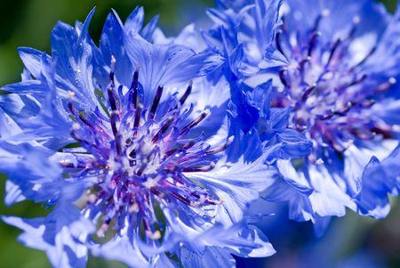 corn flower: Closeup of a couple of pretty blue cornflowers.