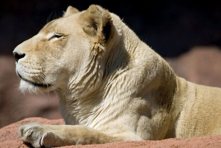 herself: Regal looking lion, resting and sunning herself at the zoo. Stock Photo