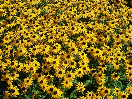 brown  eyed: A carpet full of sunny brown eyed susans. Stock Photo