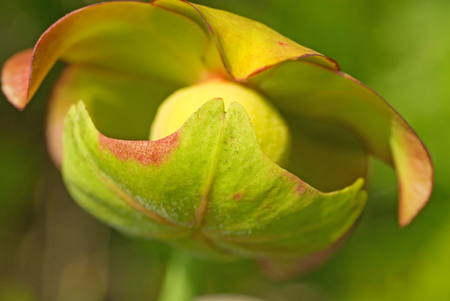 Lovely earthy colors in the flower of a pitcher plant. Stock Photo