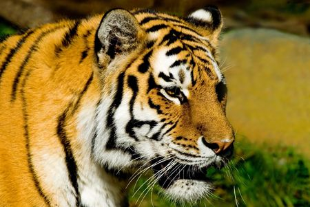 Majestic looking Siberian Tiger at the San Francisco zoo.
