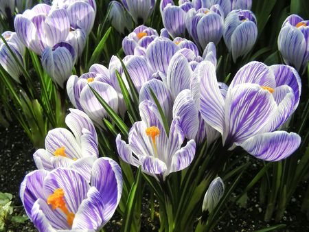 A lovely carpet of stripped purple crocus flowers. Reklamní fotografie
