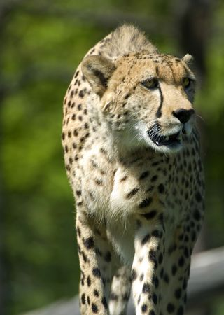 A young cheetah stalking something or another, at the Toronto Zoo. Reklamní fotografie