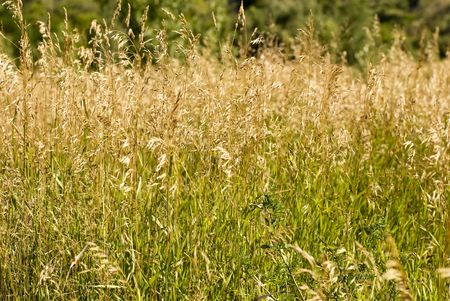 A field of wild grass, waving in the breeze. Imagens