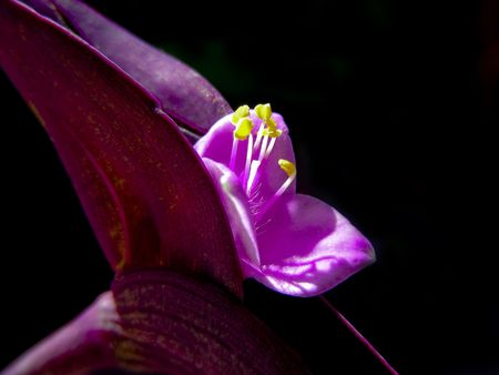 Closeup of the tiny mauve flowers of a Wandering Jew plant. Фото со стока