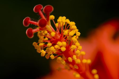 Closeup of the stamen and pistils of a red hibiscus flower.