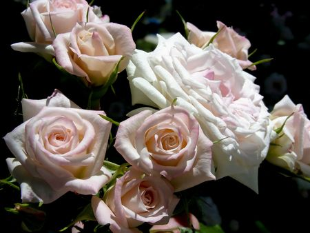 So many lush pink roses they look like a bouquet. Stock Photo - 3375282
