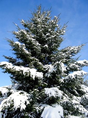 boughs: With boughs all laden with snow, this one looks like a perfect Christmas tree.