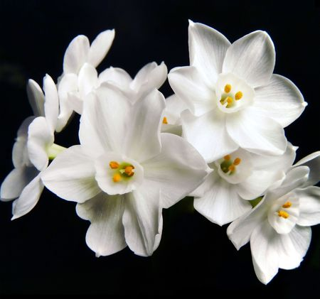Isolated bunch of paperwhite flowers on black. Stock Photo