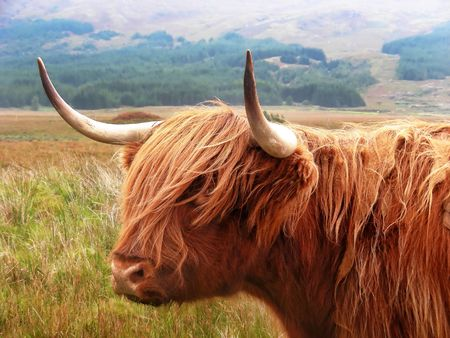 mull: Just standing on the road staring at you - highland cattle on the Isle of Mull, Scotland. Stock Photo