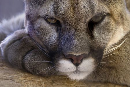 Ferosity at rest - a cougar taking a break at the Colorado Springs Zoo. Stock Photo