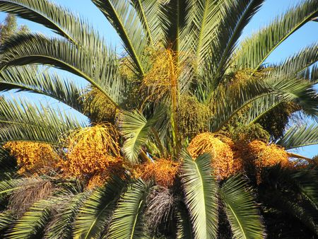 Brand new dates just beginning to ripen, high up on a date palm tree.
