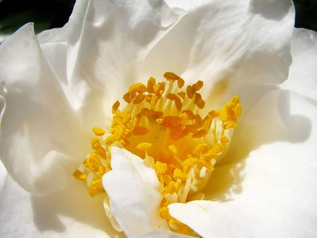 Delicate, beautiful white petals on this camelia flower.