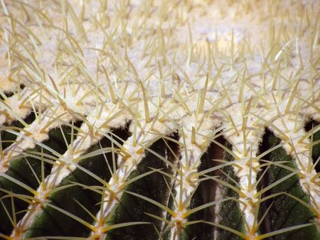 Closeup of the spines on the top of a barrel cactus.     Stock Photo
