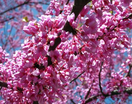 A glorious flowering tree called an Eastern Redbud.     Stock Photo