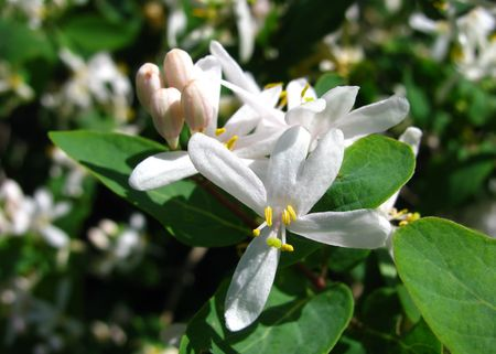 Delicate and very fragrant, honeysuckle blossoms.