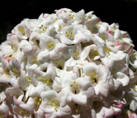 Big globes full of white flowers, that look like snowballs. Reklamní fotografie