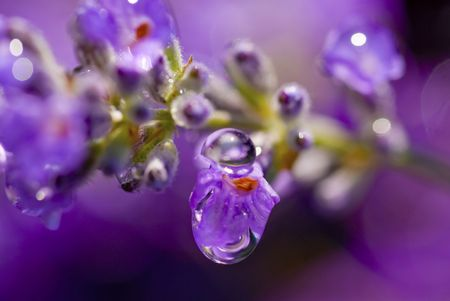 A stalk of English lavender with rain drops falling off it. Stock fotó
