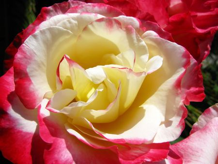 Delicate petals of a pretty pink rose.