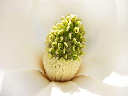 Closeup of the interior of a glorious white magnolia flower.