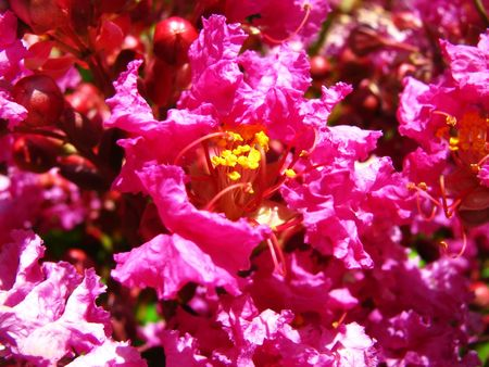 A tree full of lovely pink crepe myrtle flowers.                                photo