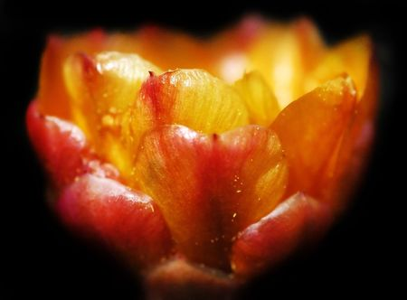waxy: Waxy cactus petals seem to almost glow against a black background.