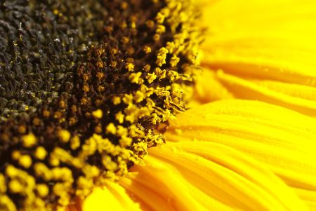 Lovely, bright and sunny - the edge of a yellow sunflower. Stock Photo - 6282783